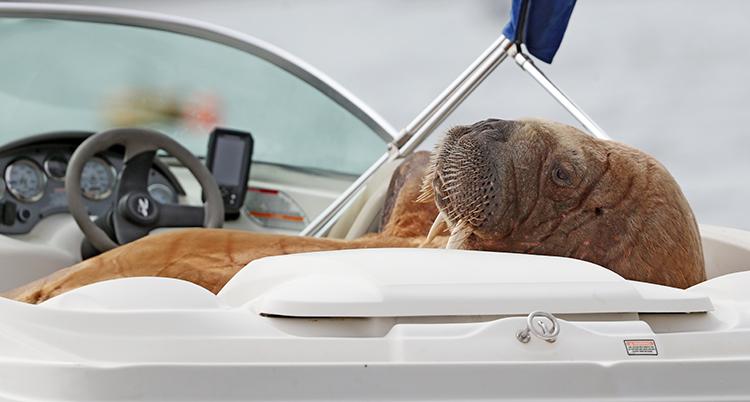 Valrossen Wally i en båt.