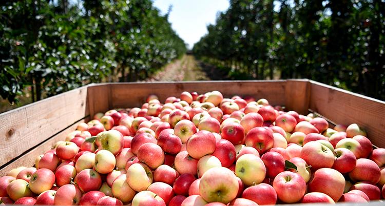 Äpplen ligger i en låda utomhus i en äppelodling