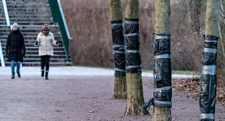 En rad med träd med svart plast på stammarna.