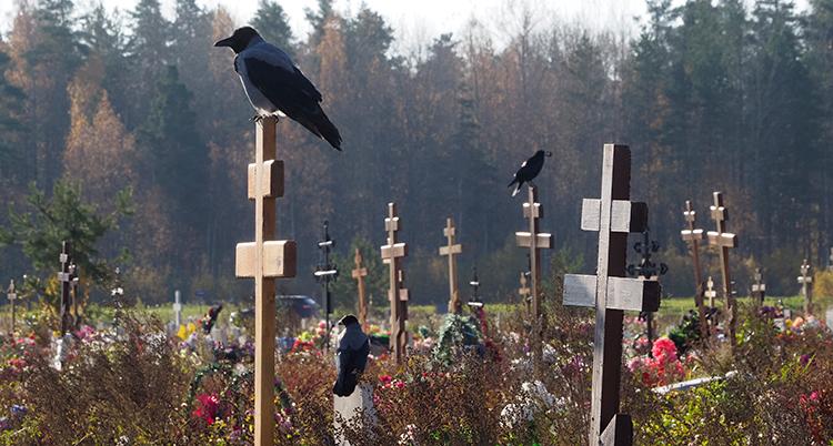 Kråkor sitter på kors av trä på en kyrkogård.